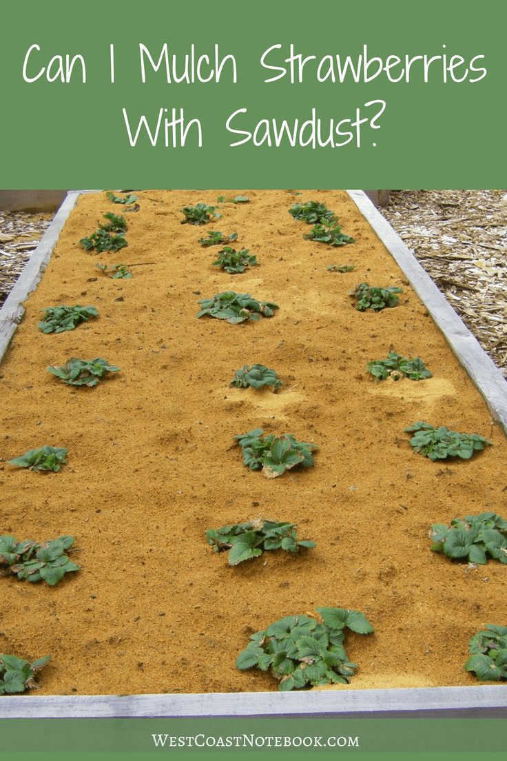Can I Mulch Strawberries With Sawdust