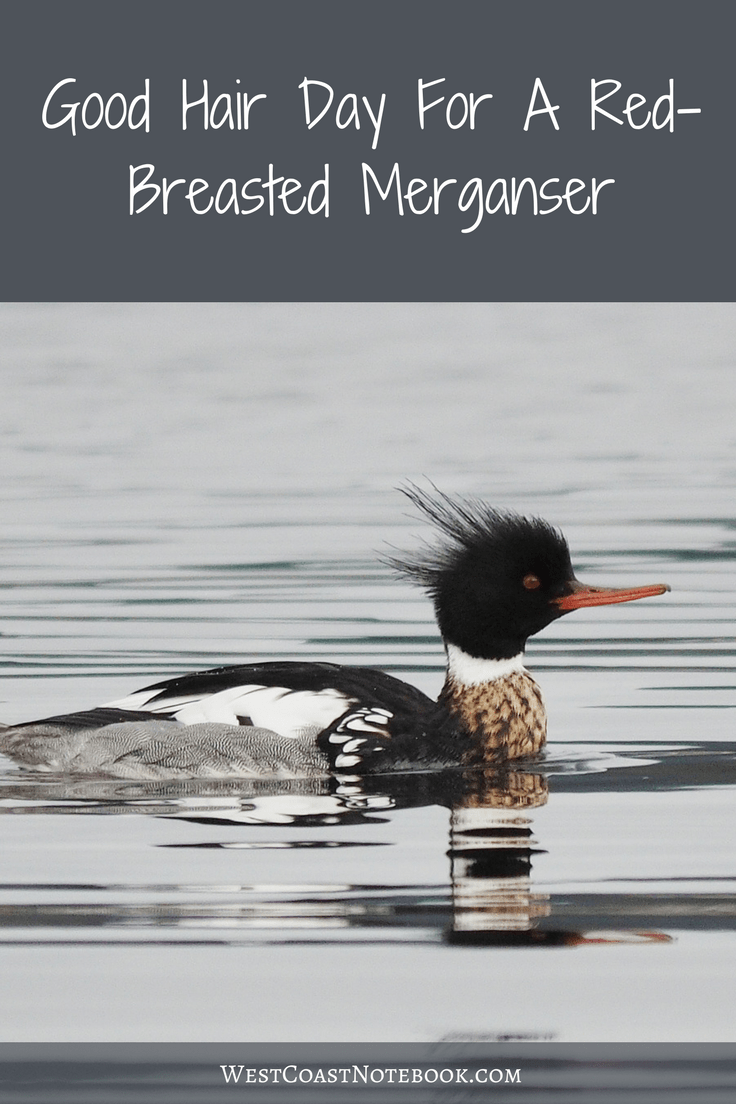 Good Hair Day For A Red-Breasted Merganser
