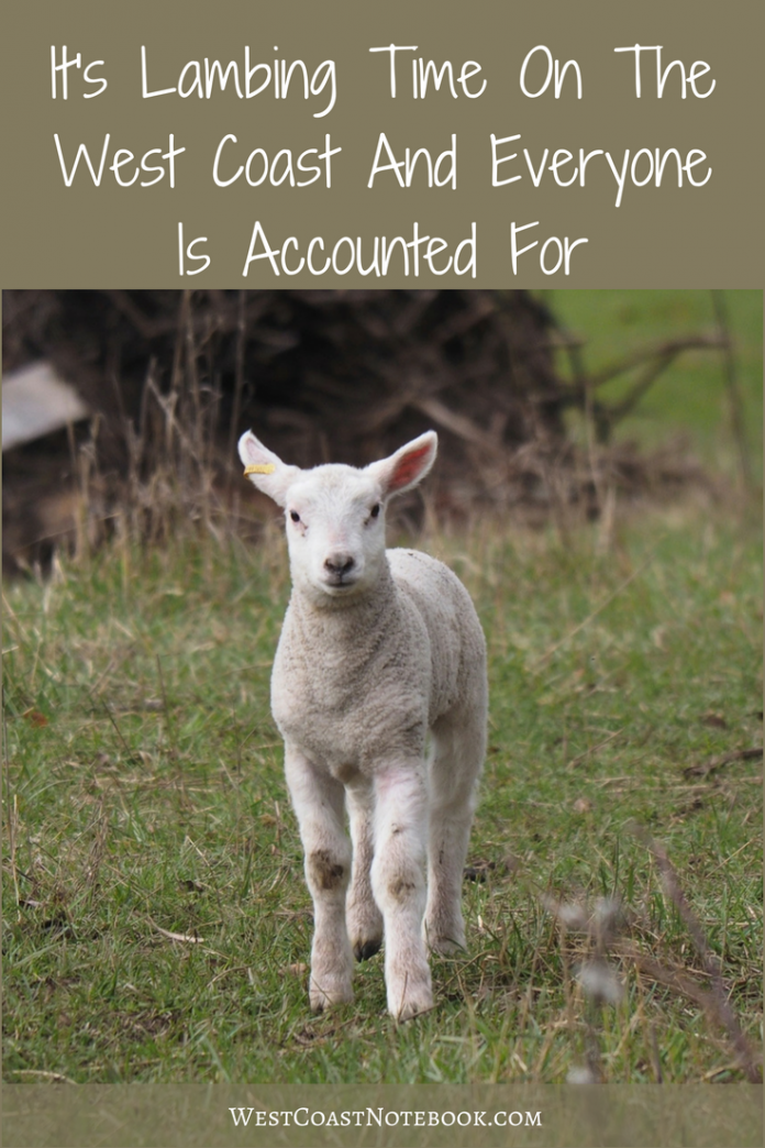 It's lambing time on the west coast