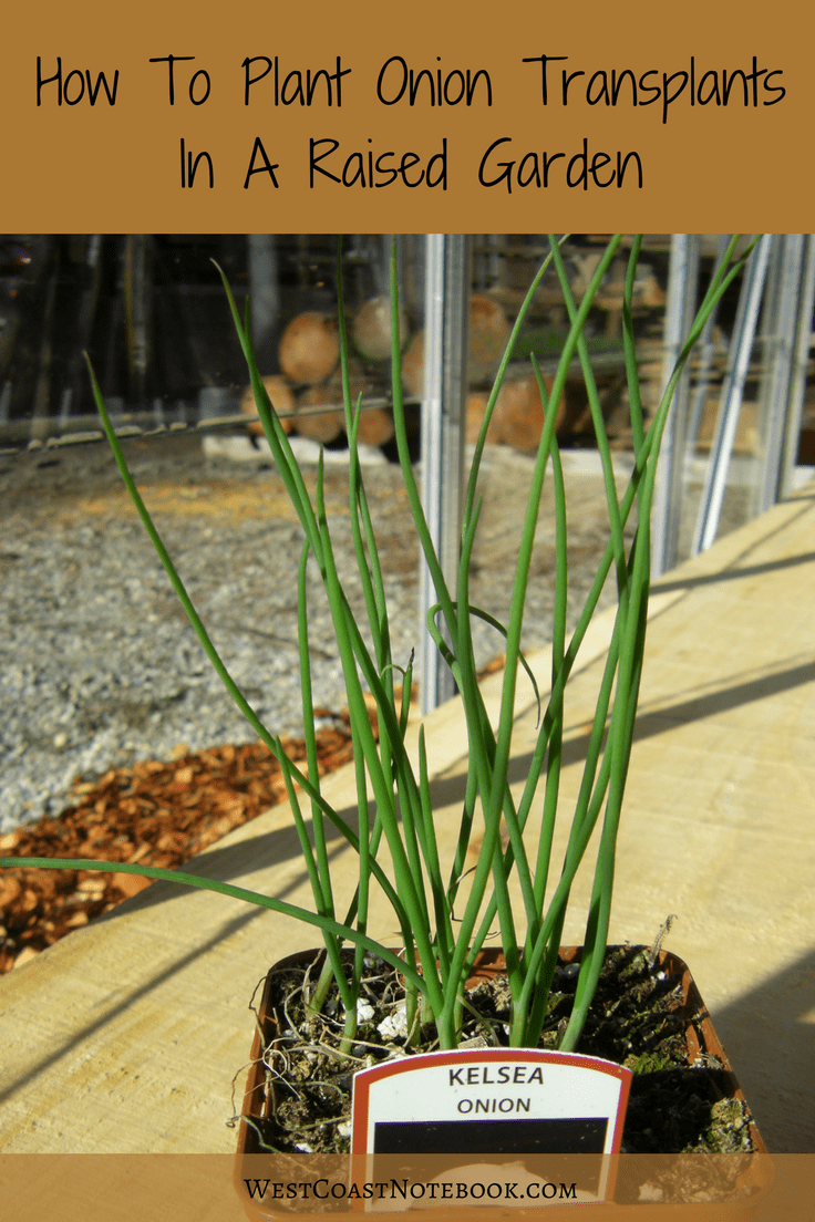 How To Plant Onion Transplants In A Raised Garden