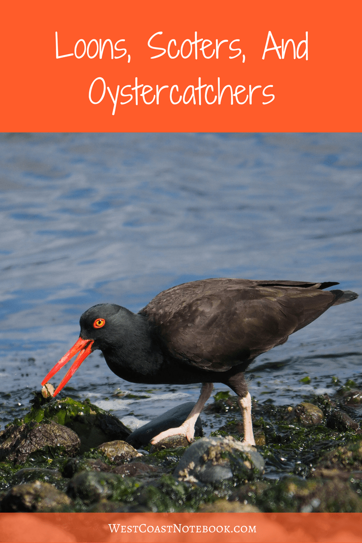 Loons, Scoters, And Oystercatchers