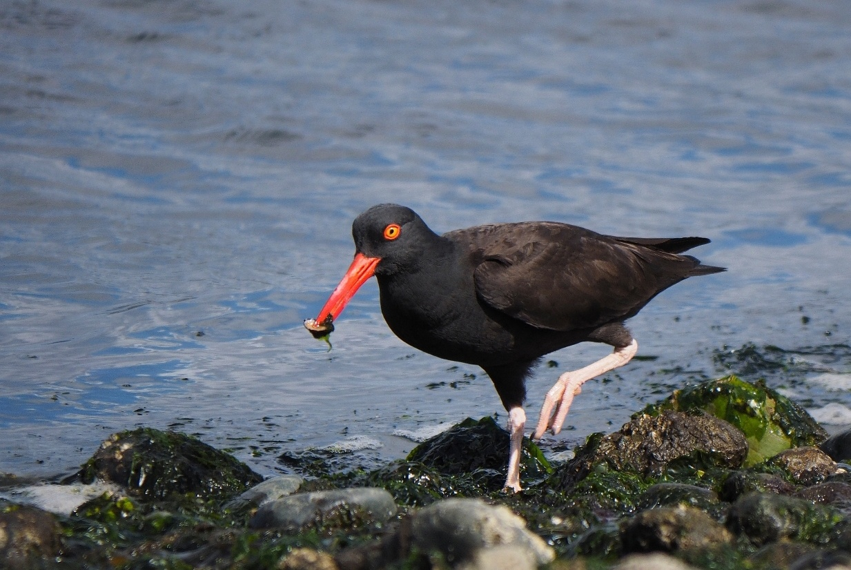 black oystercatcher with dinner