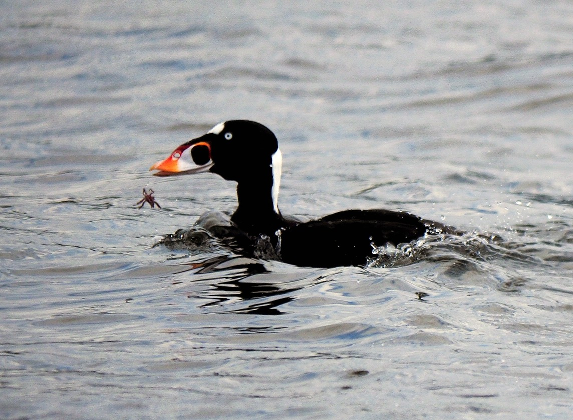 surf scoter dropping crab