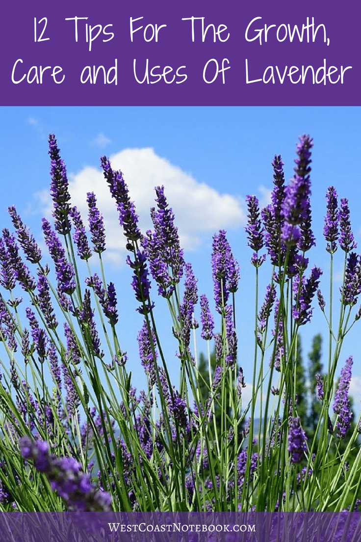 12 Tips For The Growth, Care and Uses Of Lavender