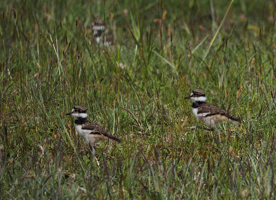 3 killdeer chick in the grass