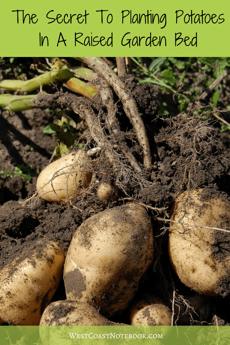 The Secret To Planting Potatoes In A Raised Garden Bed