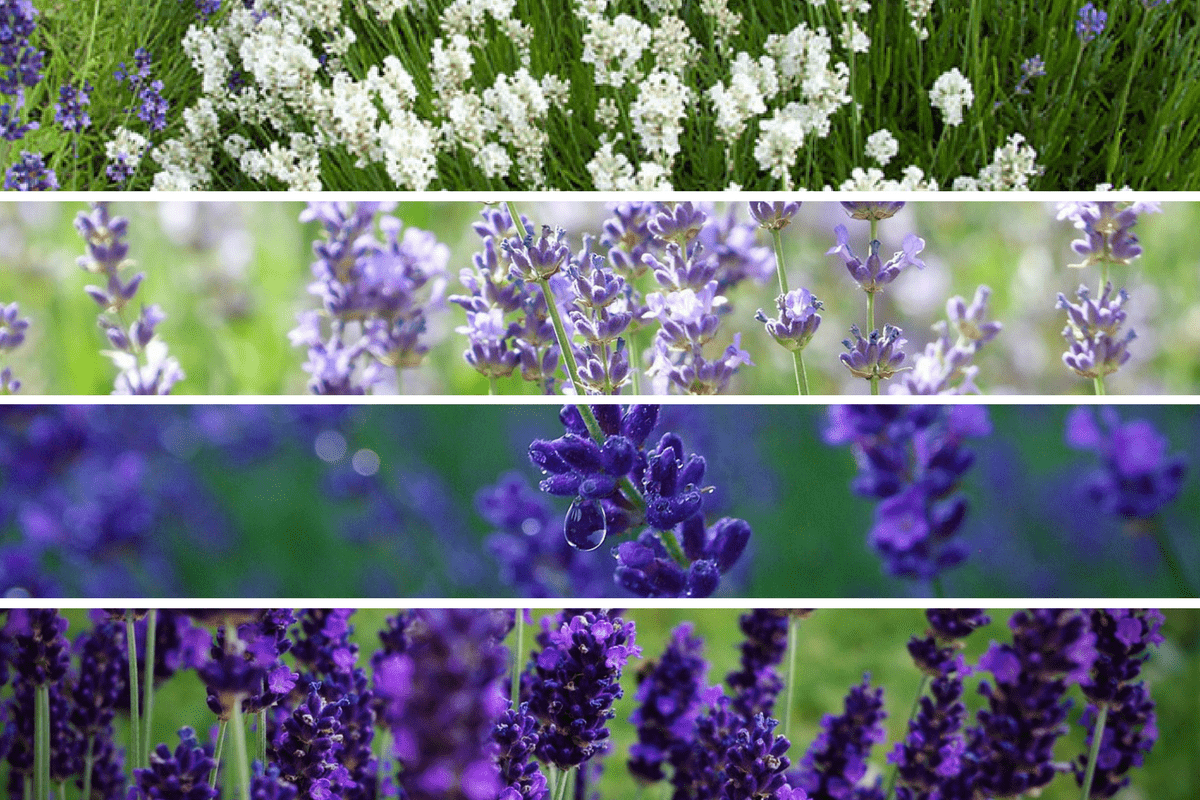 colours of lavender