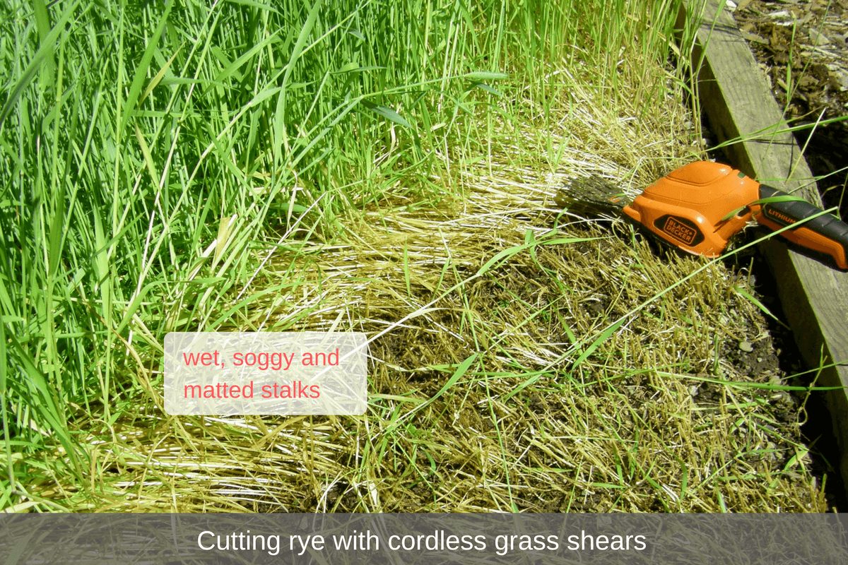 cutting rye with cordless grass shears