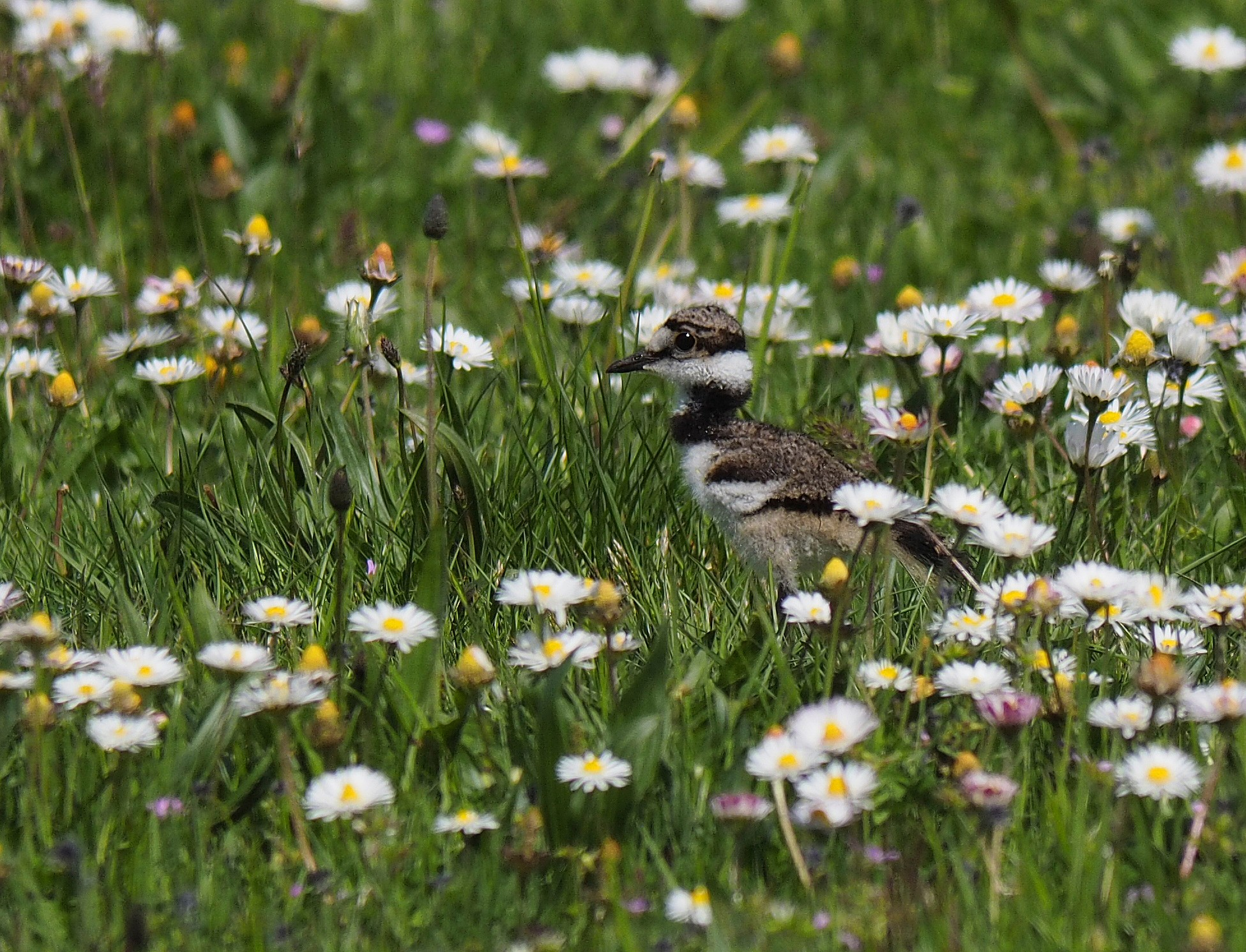 killdeer chick amongst the daisies