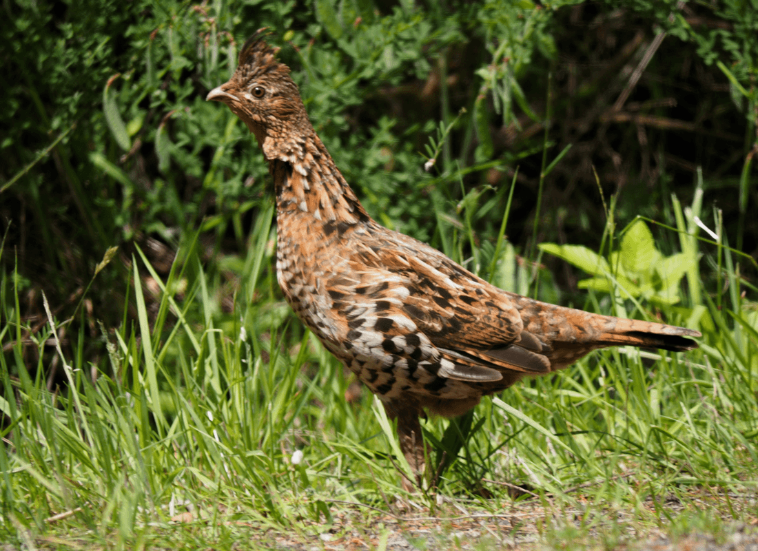 Ruffed grouse cooing to her chicks