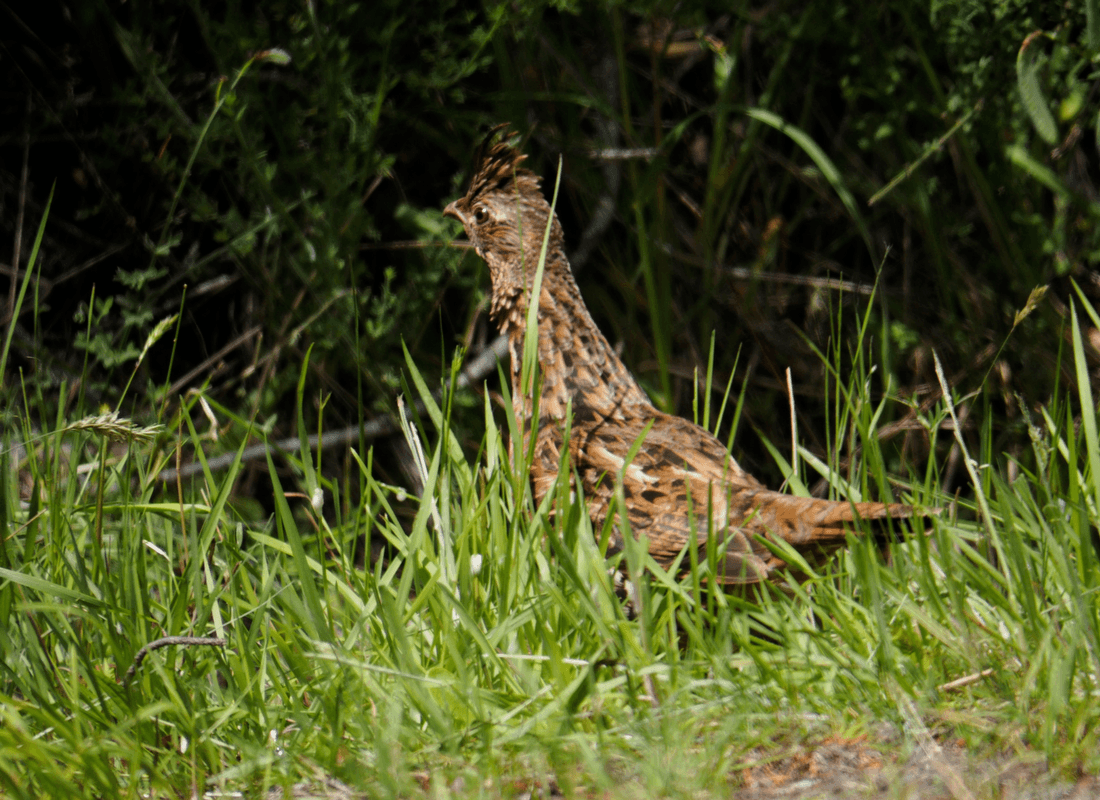 The ruffed grouse heads into the woods to join her chicks