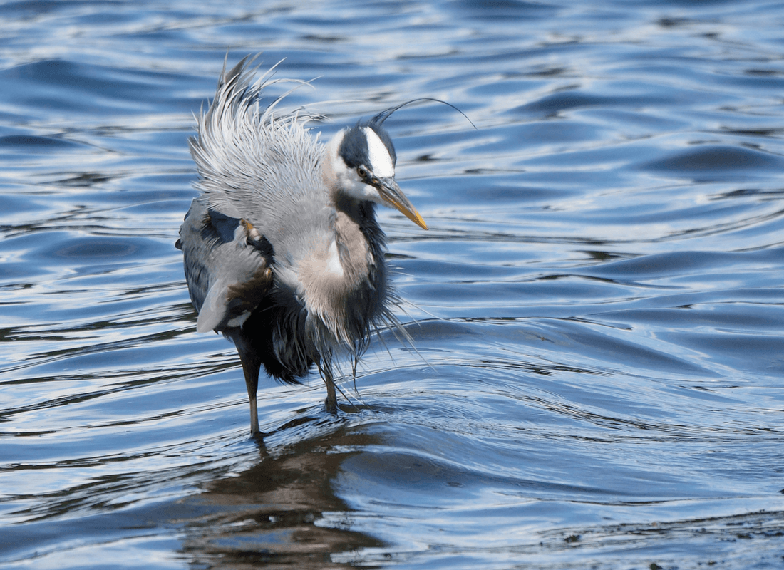 heron shaking after catching a fish