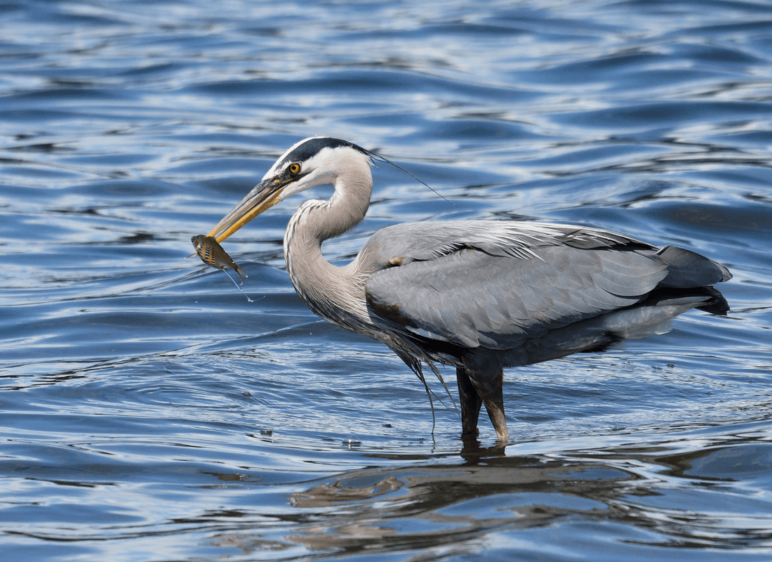 heron with shiner perch