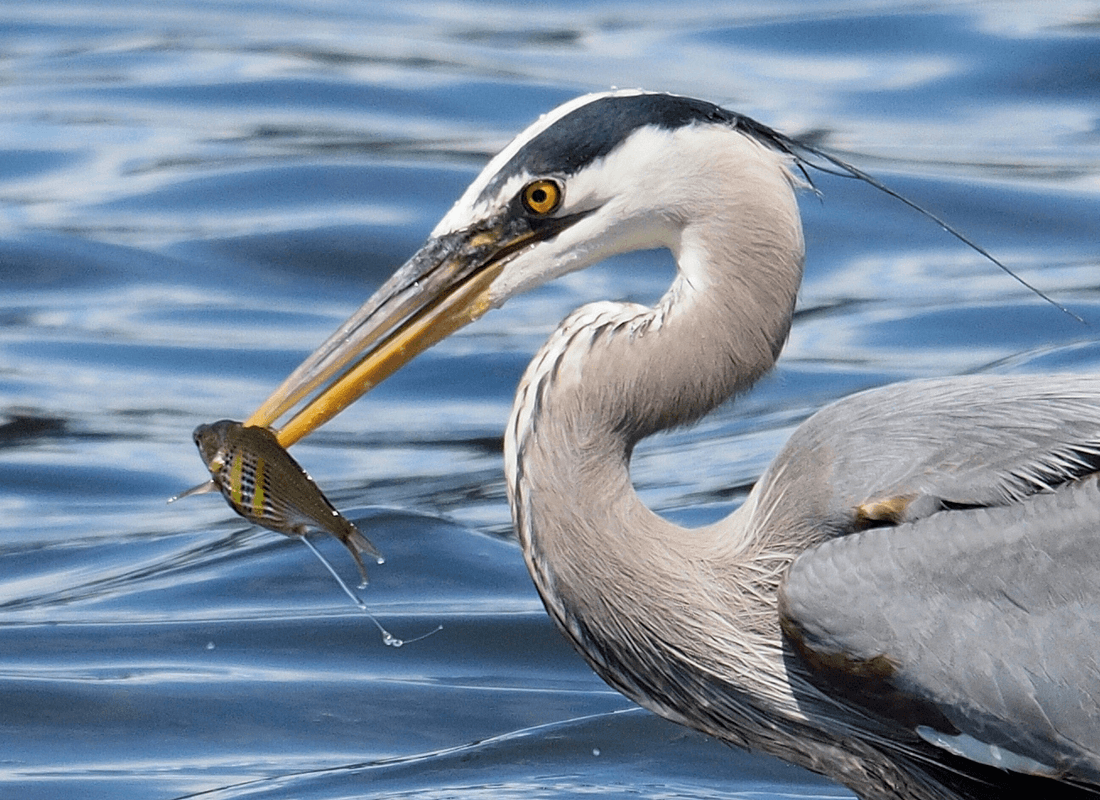 impaled fish on heron's beak