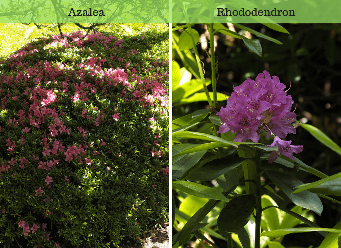 Azalea and Rhododendron