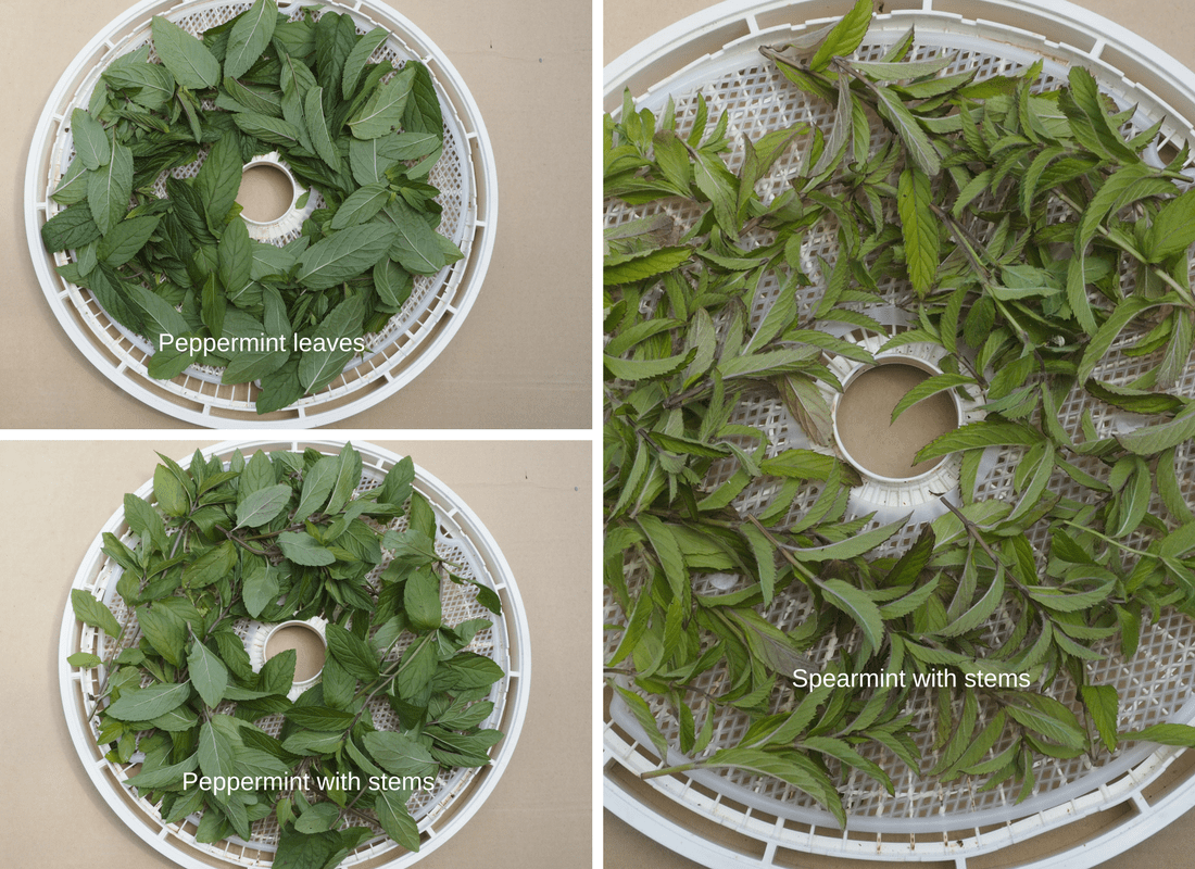 Peppermint and Spearmint ready for the dehydrator