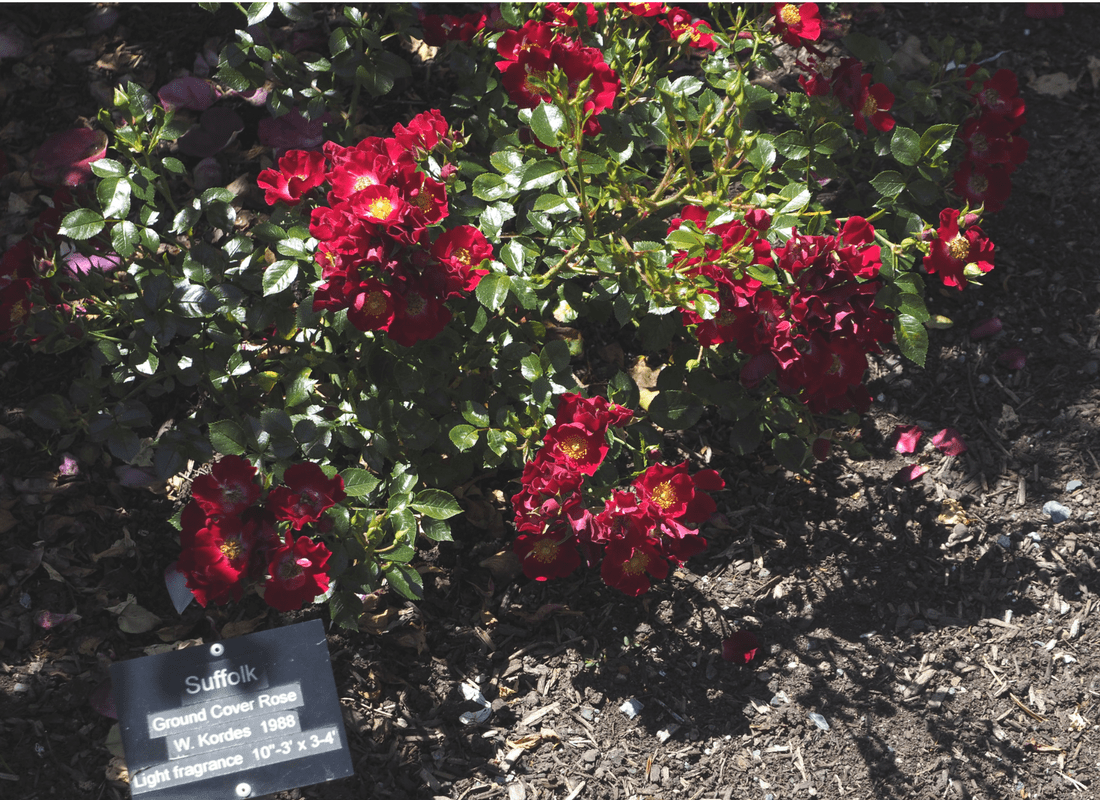 Suffold - Ground Cover Rose