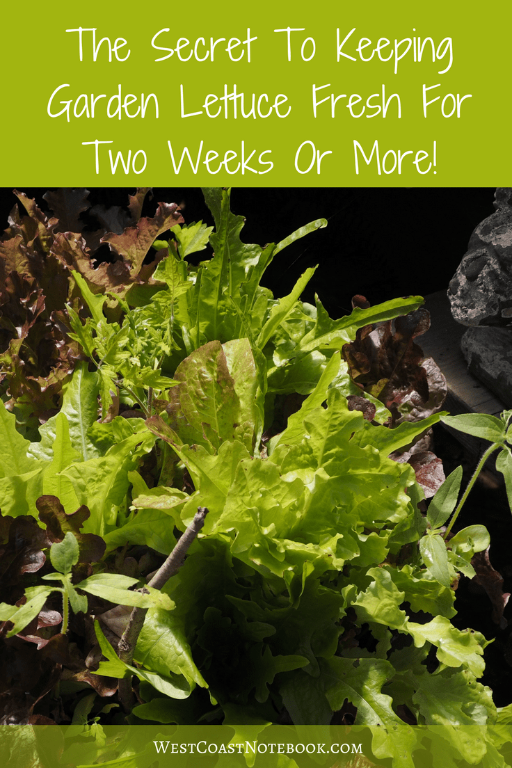 The Secret To Keeping Garden Lettuce Fresh For Two Weeks Or More