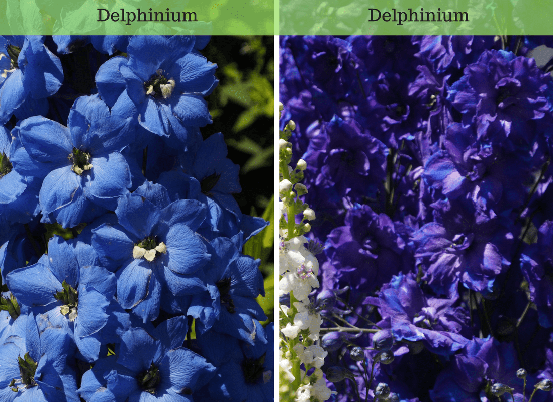 blue and purple Delphinium