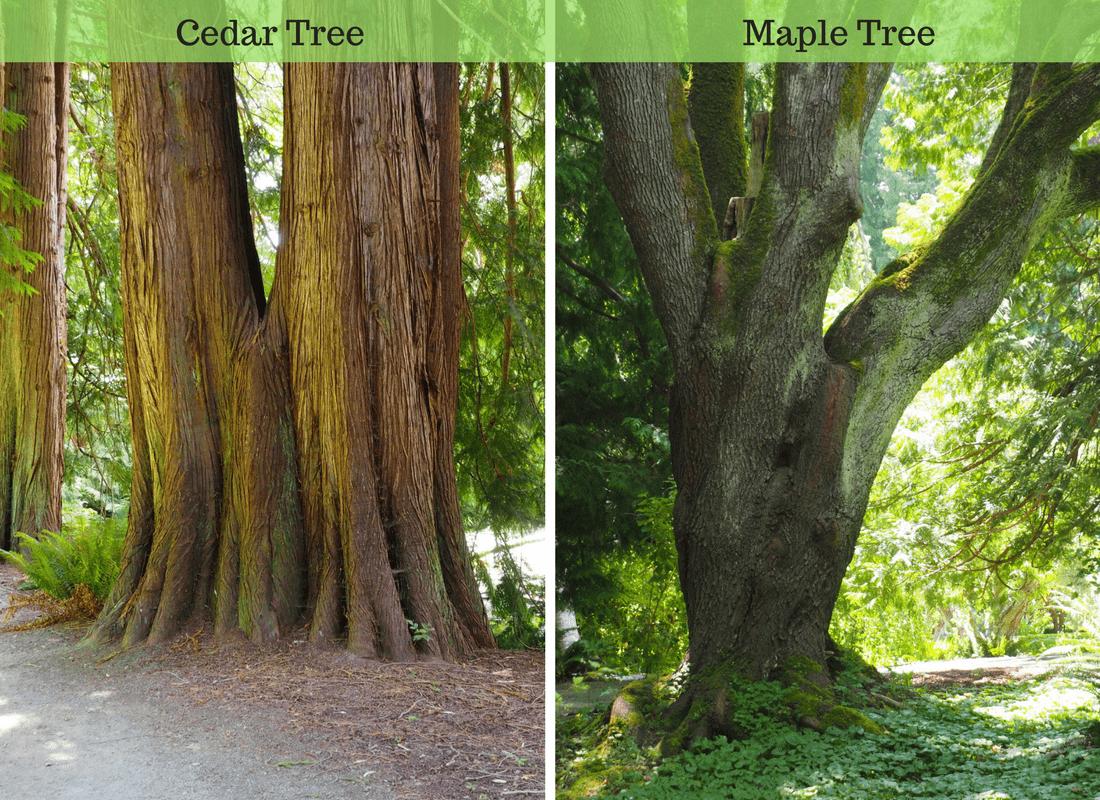 cedar and maple trees