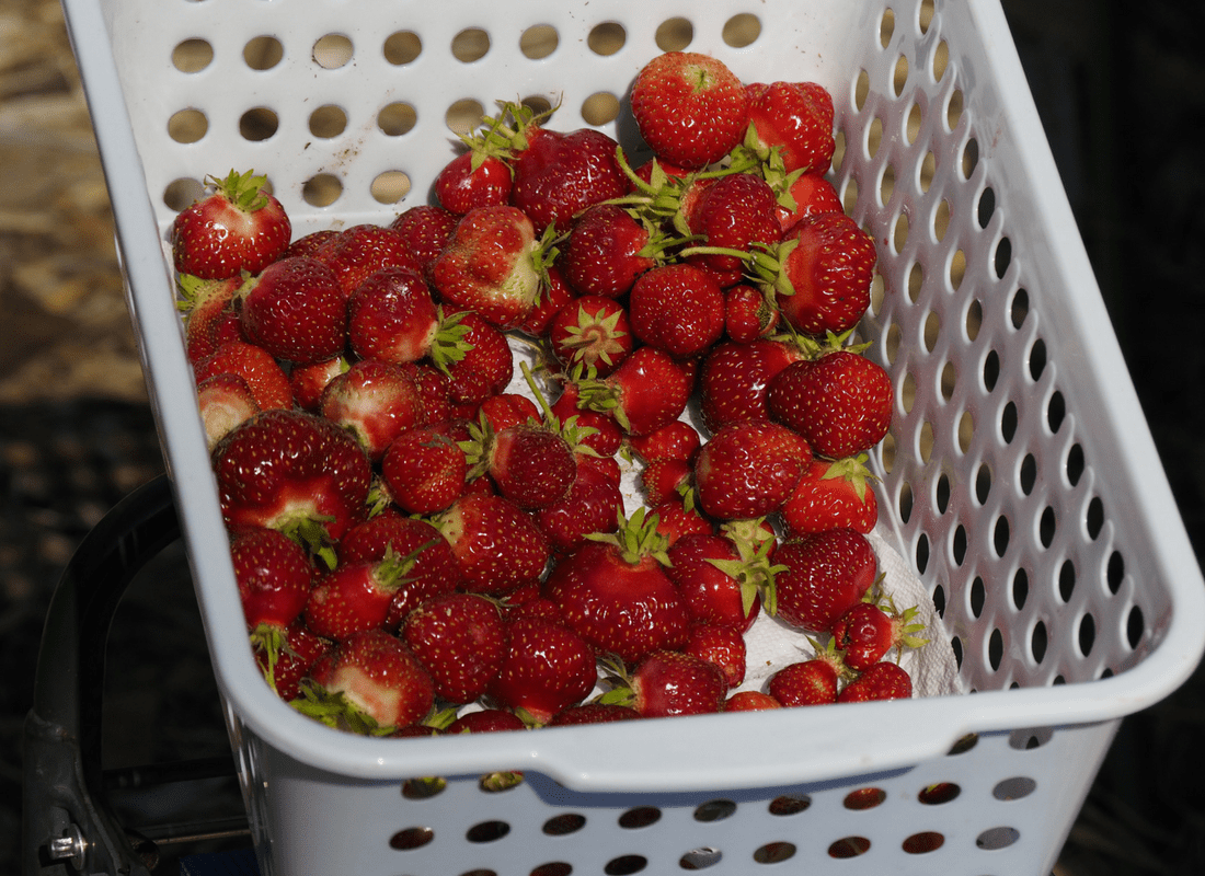 first picking of strawberries