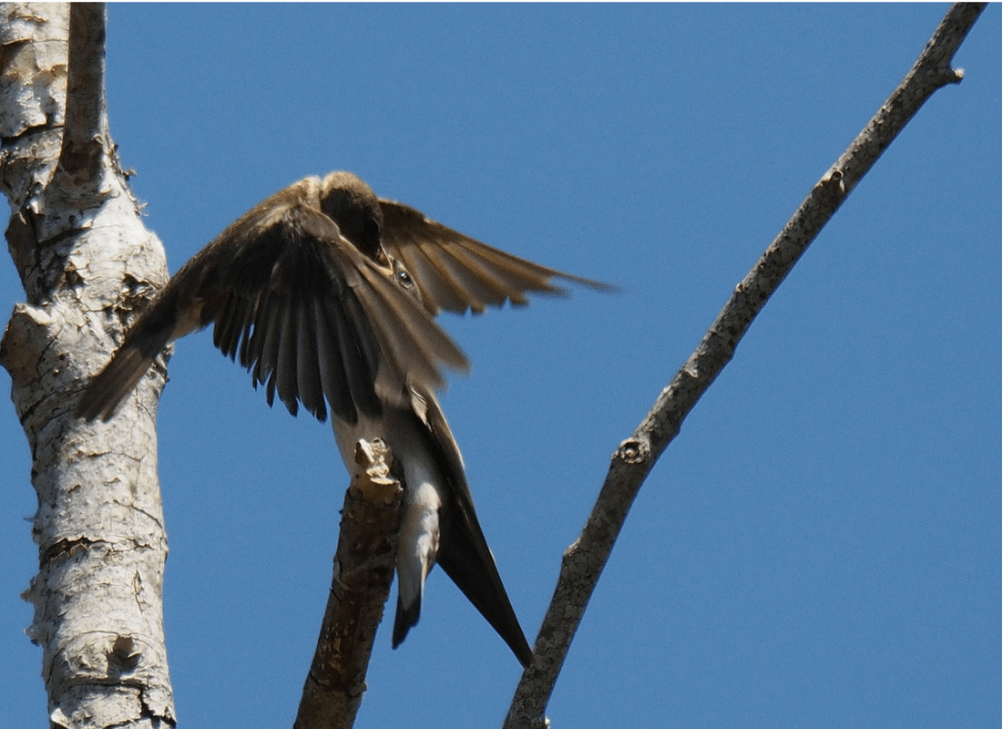 northern rough-winged swallow feeding juvenile