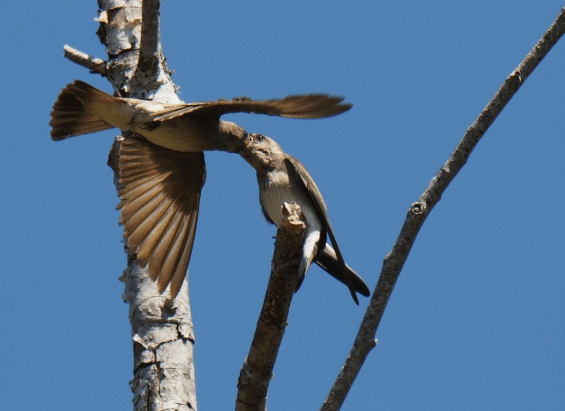 northern rough-winged swallow parent feeding juvenile