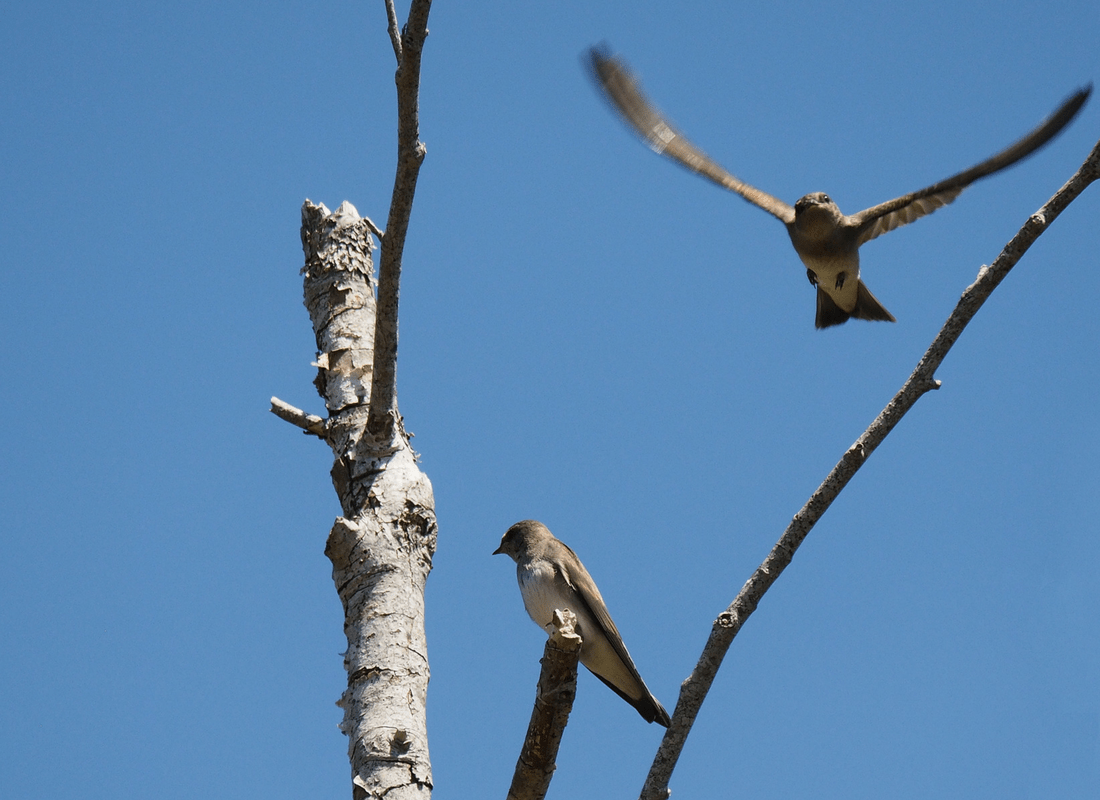 northern rough-winged swallow parent leaving after feeding fledgling