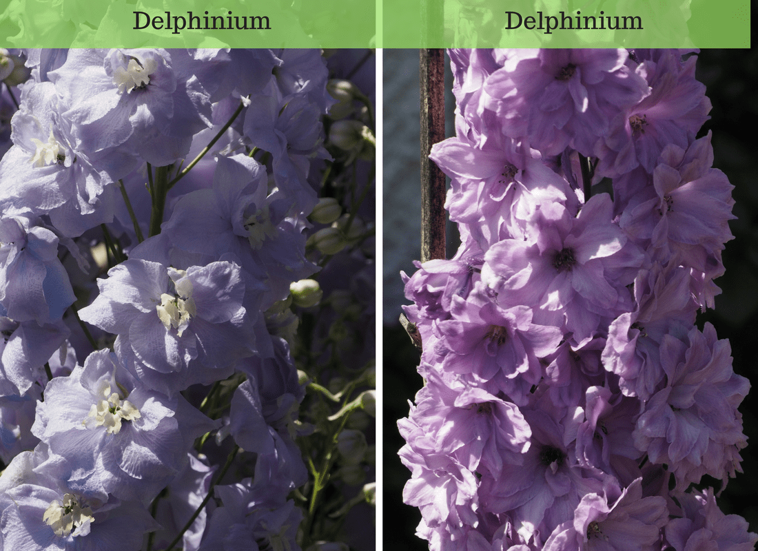 purple and pink Delphinium
