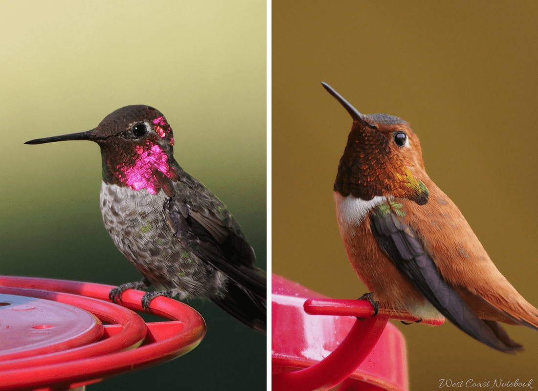 Anna's and Rufous hummingbirds at feeder