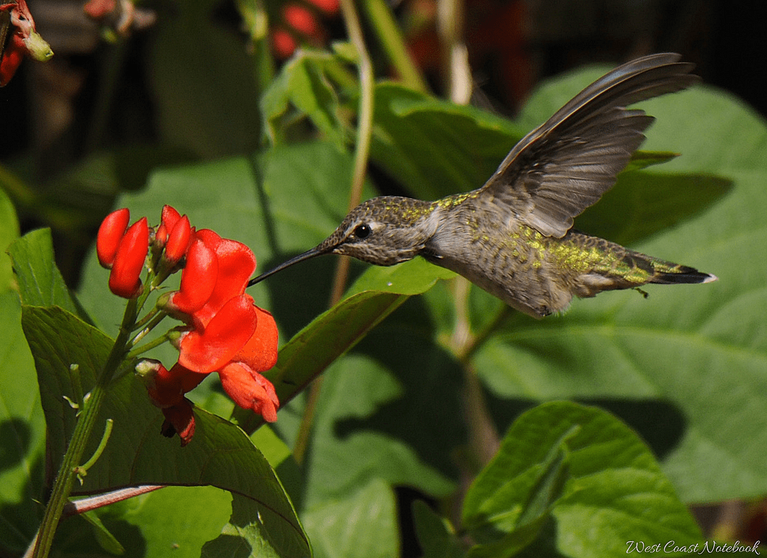 Anna's hummingbird drinking from scarlet runner bean flower