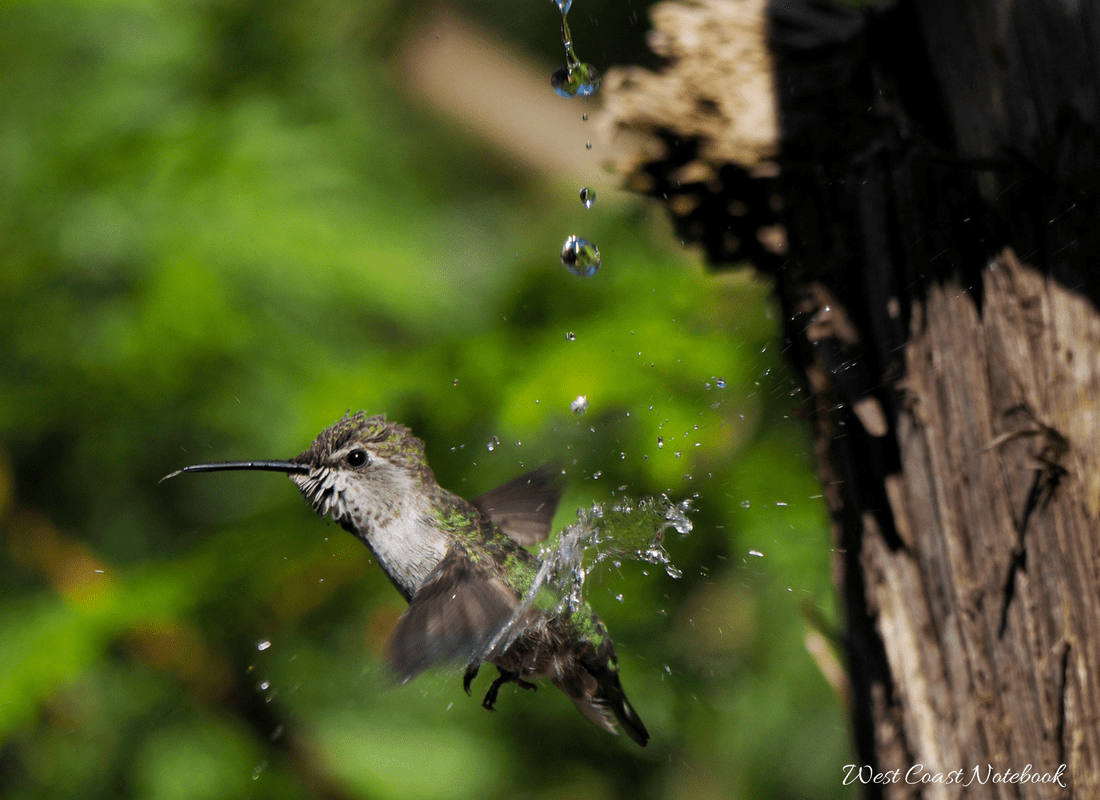 Anna's hummingbird having shower
