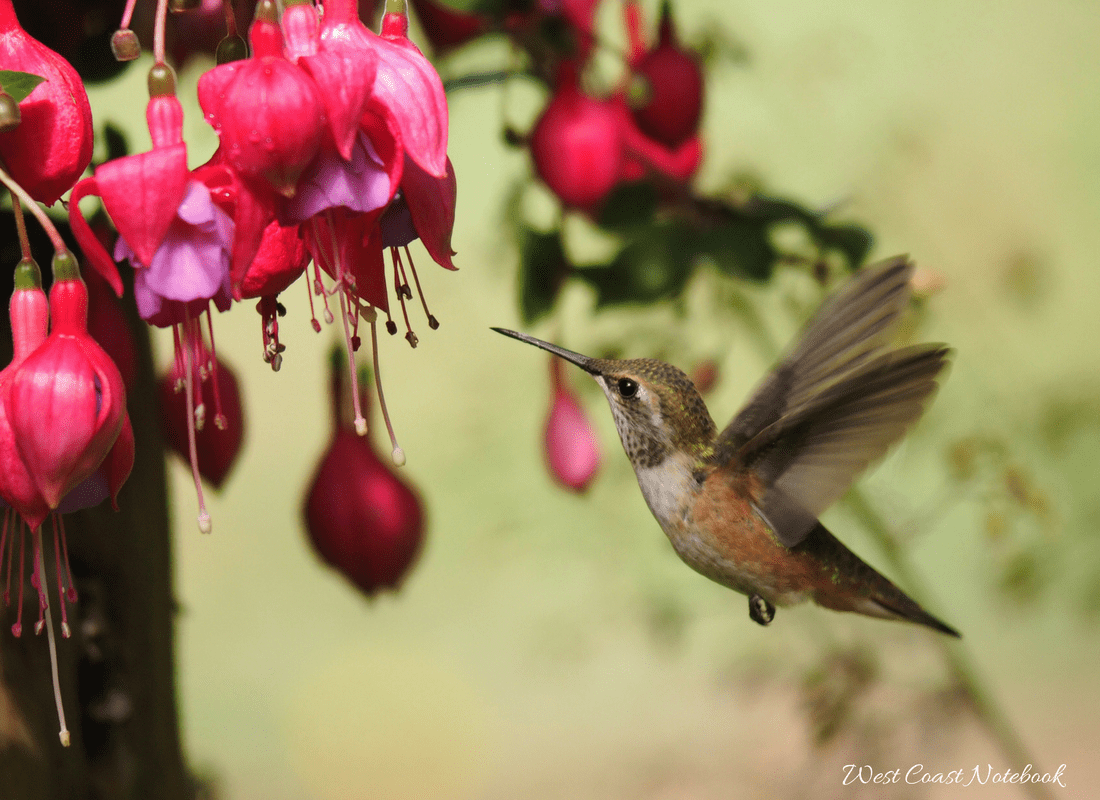 Rufous hummingbird at fuchsia