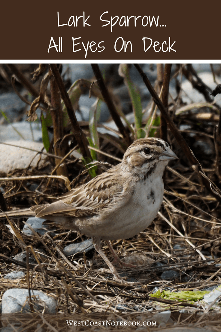 Lark Sparrow All Eyes On Deck