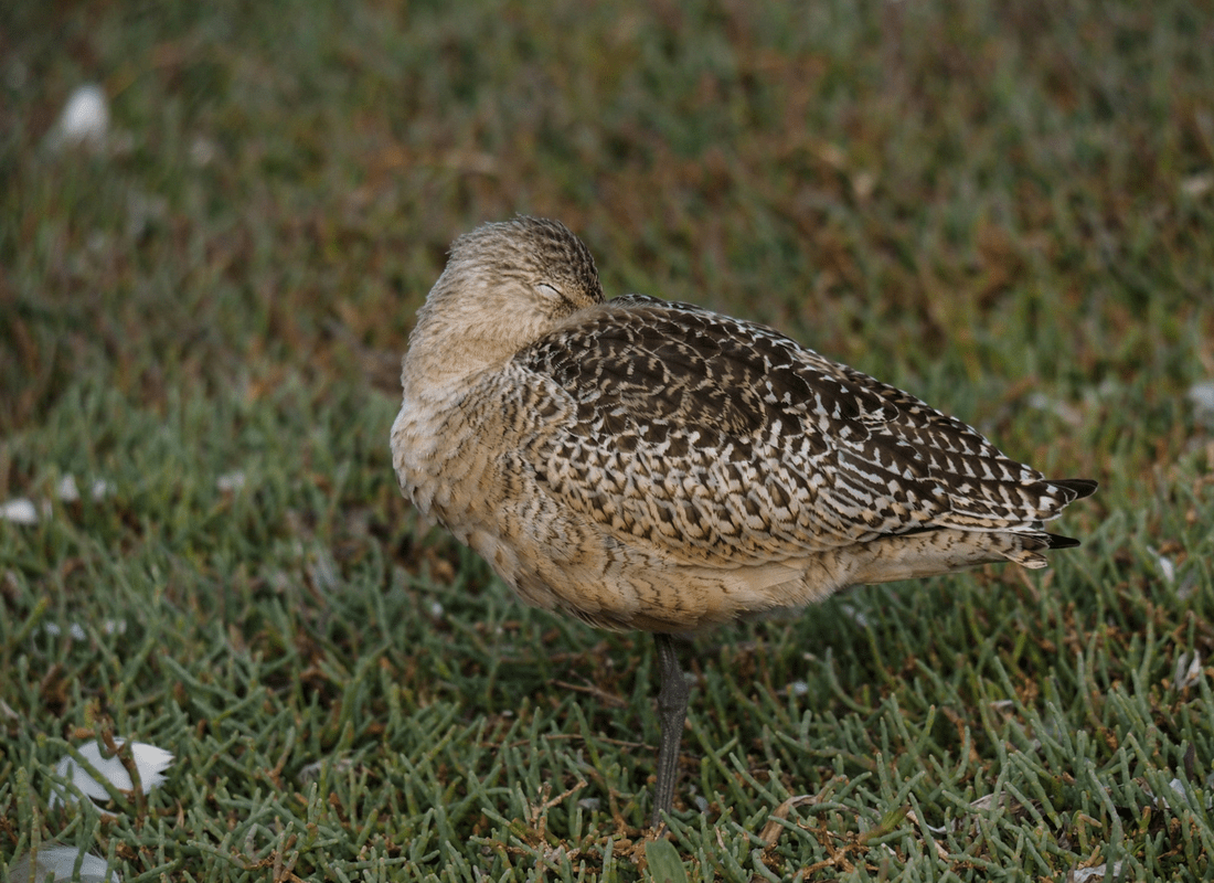 Marbled godwit sleeping