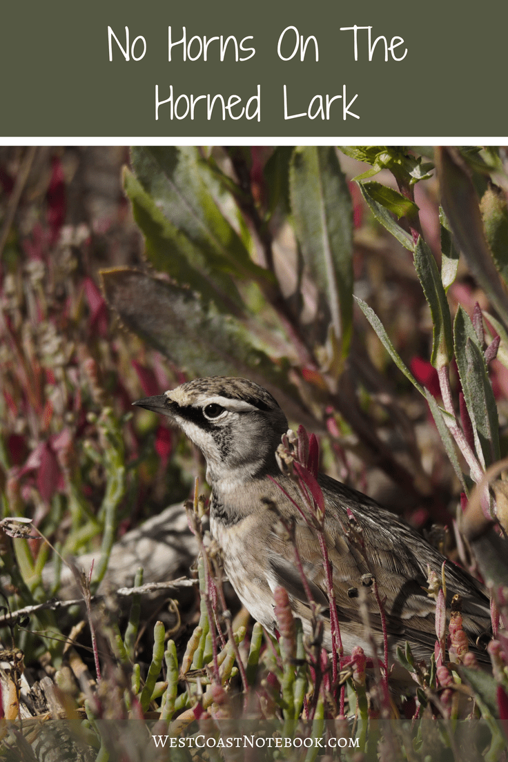 No Horns On The Horned Lark