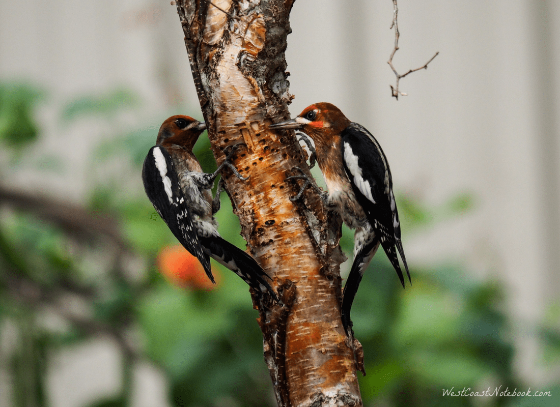 Two Red-breasted Sapsuckers feeding