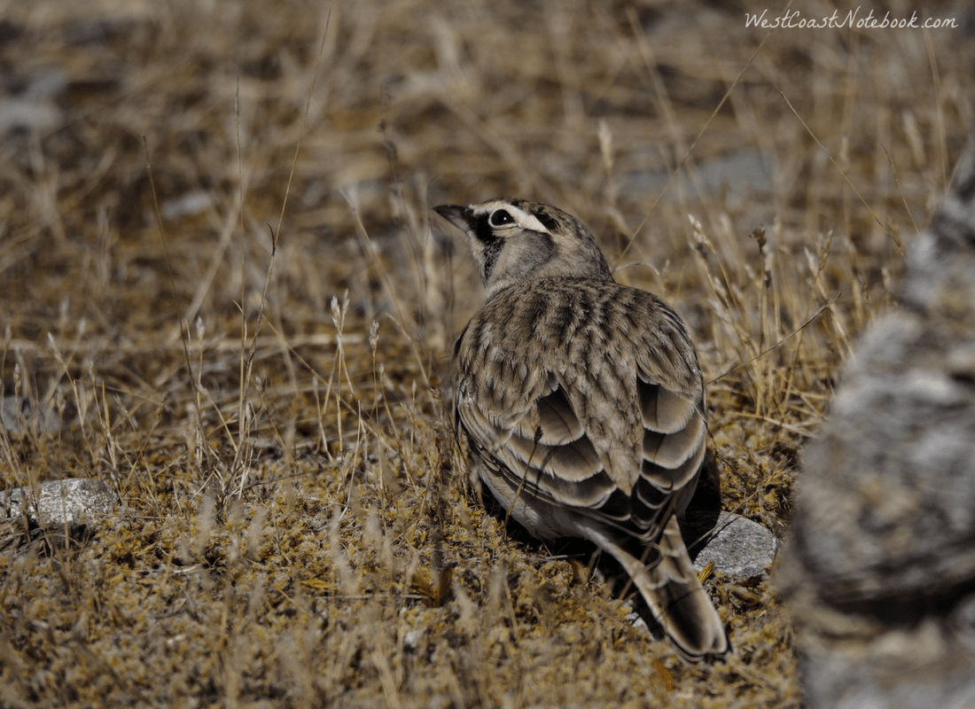 horned lark checking the sky for predators