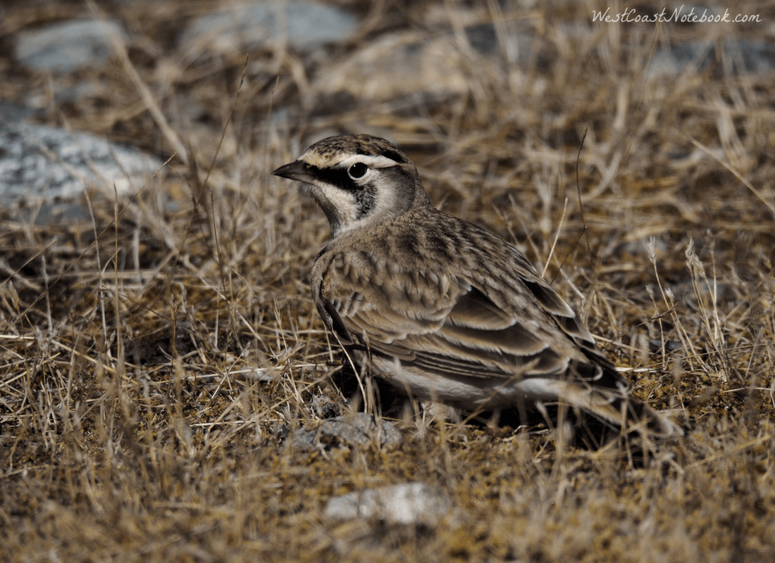 horned lark feeding