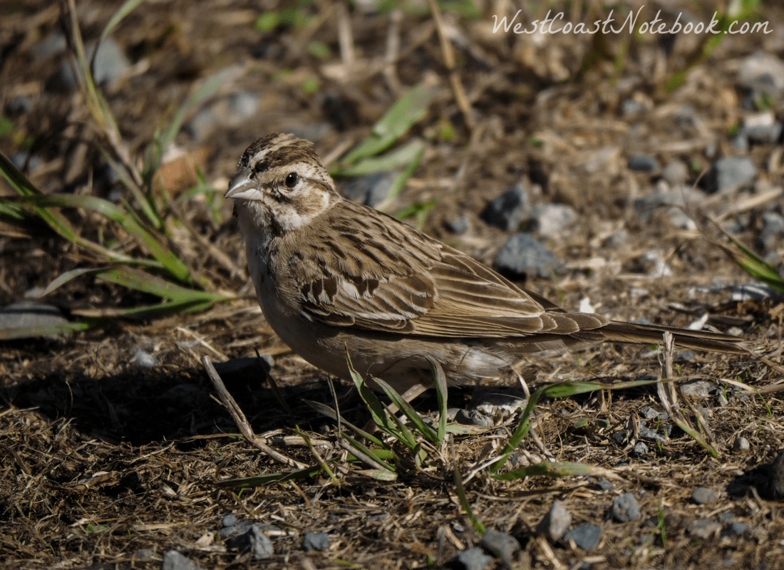 lark sparrow in parking lot