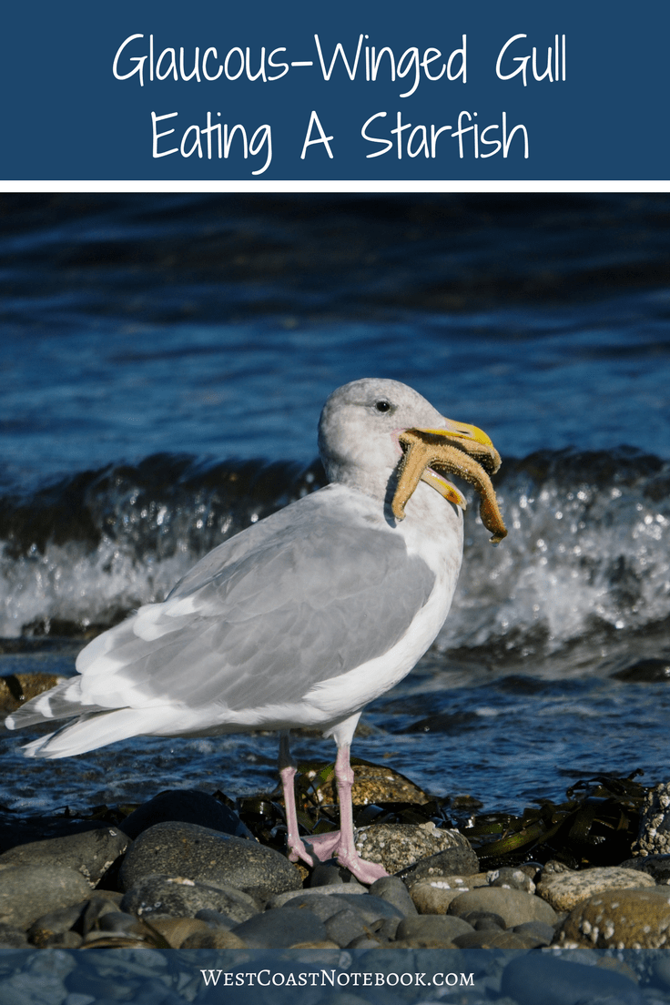Glaucous Winged Gull Eating A Starfish