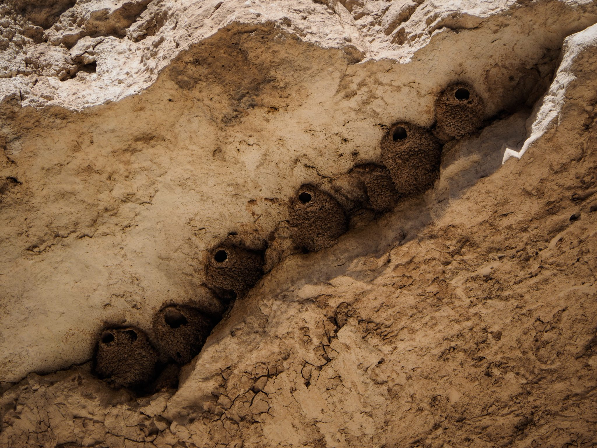 cliff swallows nests