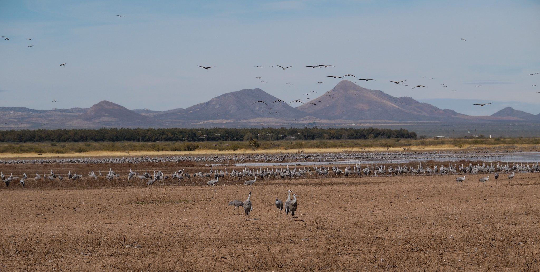 flock of sandhill cranes