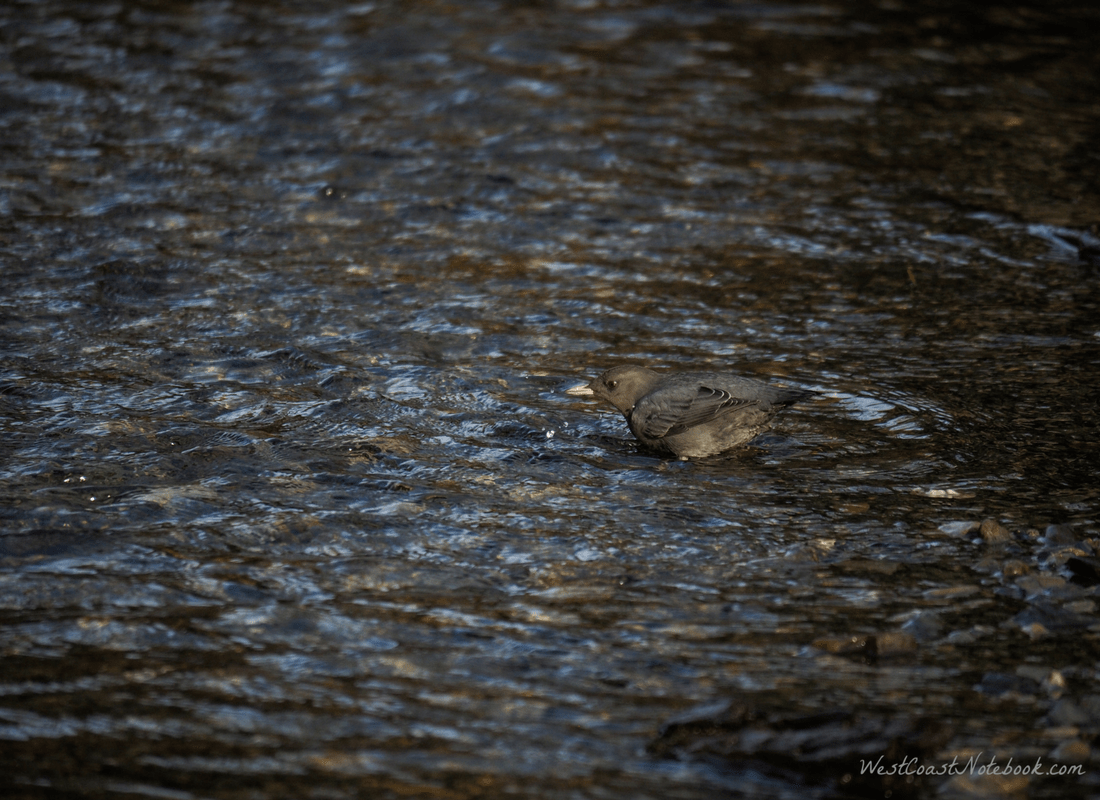 American Dipper hard to see in the water
