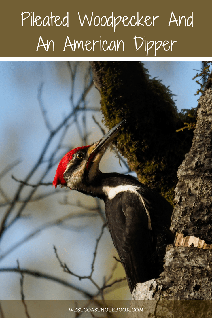 Pileated Woodpecker And An American Dipper