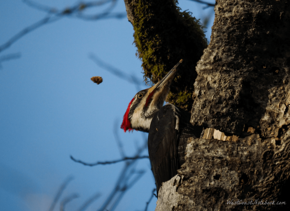 pileated woodpecker tossing wood chips
