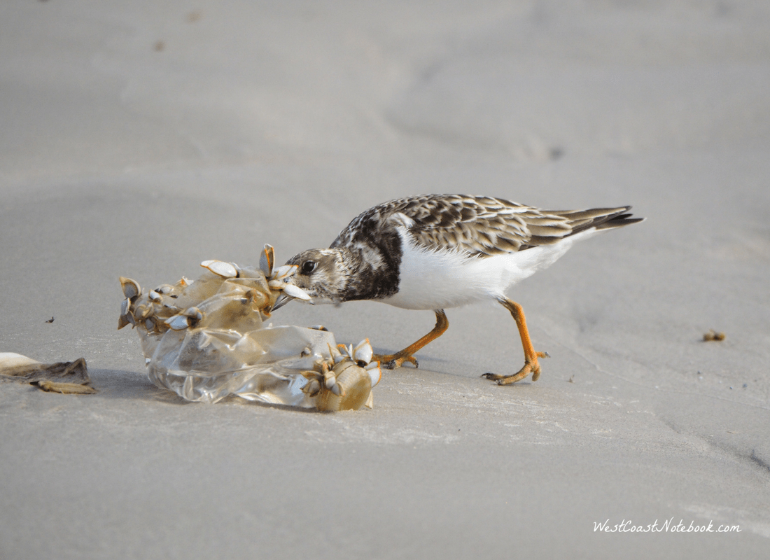 Ruddy turnstone eating barnacles