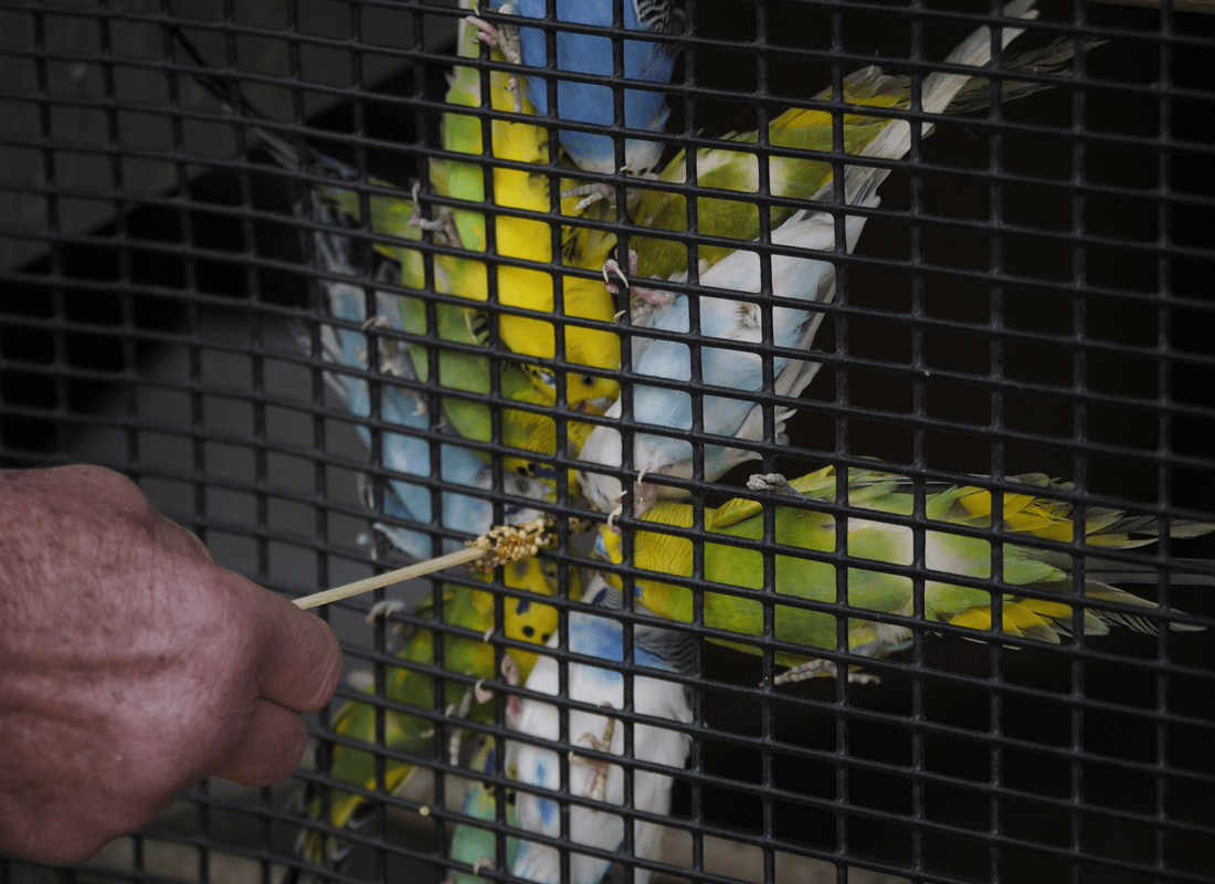 feeding the budgies