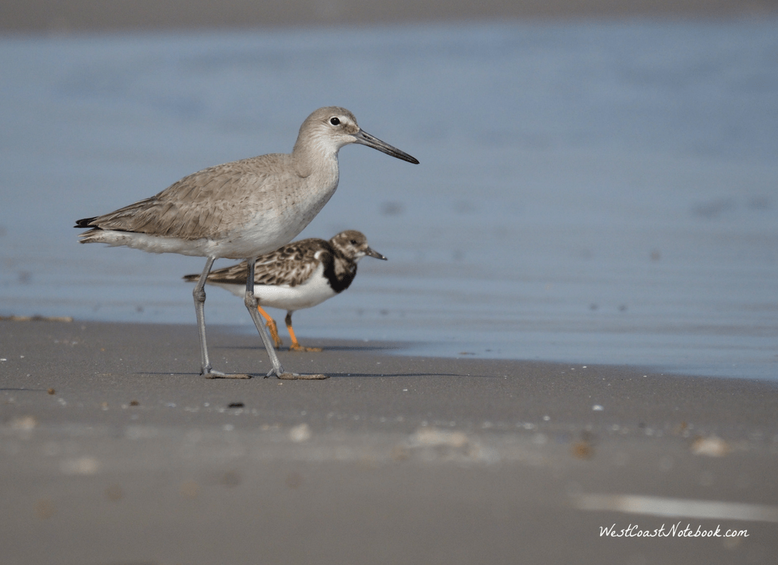 willet and ruddy turnstone