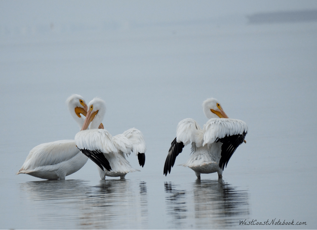 American White Pelicans at dusk